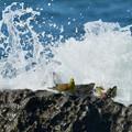 写真: アオバトの海-2