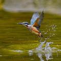 写真: 幼鳥の飛び込み-4