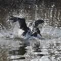 カワウの水浴