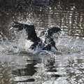 写真: カワウの水浴