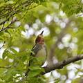 コムクドリ-散った桜木で-1