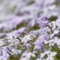 薄紫のさくら草