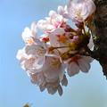 胴咲の桜に蜂