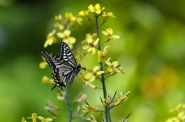 アゲハ-黄色の花に-1