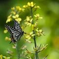 写真: アゲハ-黄色の花に-1
