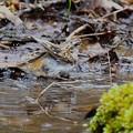 キバシリ-水浴び中