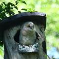 フクロウ雛(A)-巣箱で-1