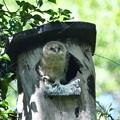 フクロウ雛(A)-巣箱で-2