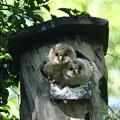 写真: フクロウ雛(A)-巣箱で-3