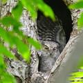オオコノハズク雛-誰の翼?