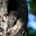 オオコノハズク雛-何をみてるの?