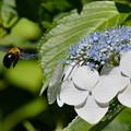 写真: 紫陽花にクマバチ