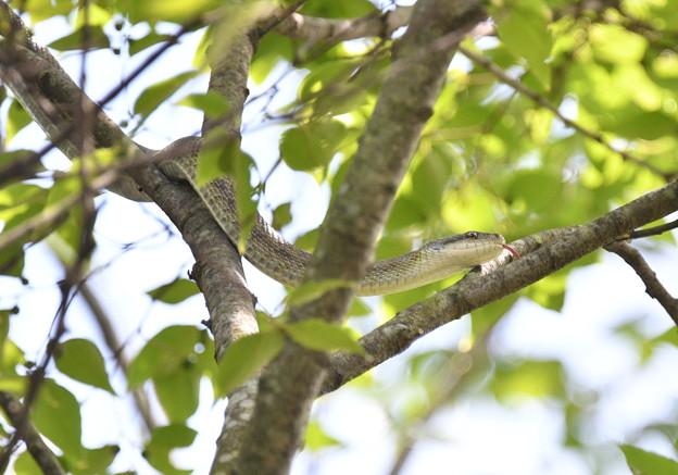 アオダイショウ-樹上に-1