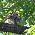 写真: ツミ幼鳥の応援-2