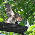 Photos: ツミ幼鳥の応援-3