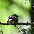 写真: ヒヨの巣立ちヒナ-2