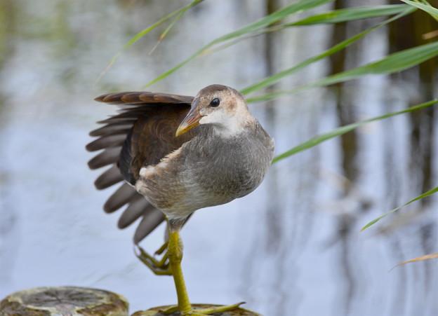 バンの幼鳥-2