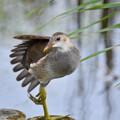 写真: バンの幼鳥-2