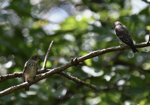 エゾビタキ2羽-水場の枝に