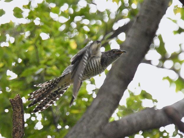 写真: ツツドリ-飛び出し