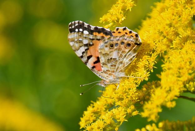 セイタカアワダチソウに蝶-4