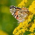 写真: セイタカアワダチソウに蝶-4