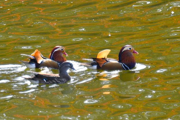 オシドリ-秋色の水面に-1