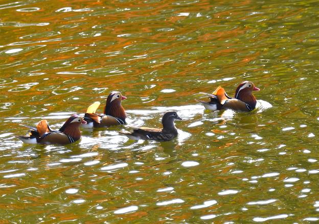 オシドリ-秋色の水面に-2