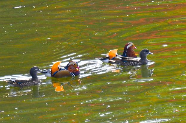 オシドリ-秋色の水面に-3