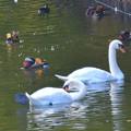オシドリ-他の鳥さんと-1
