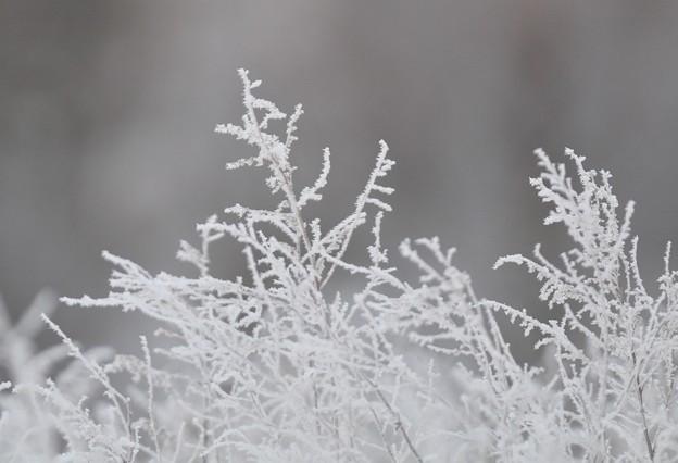 霧氷の小枝 - 蔵出し