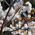 カワセミ君-桜に