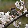 ムクドリ-桜に-1