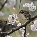 ムクドリ-桜に-2