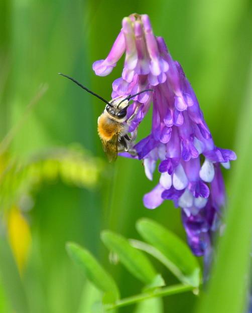 ヒゲナガミツバチ-食事中