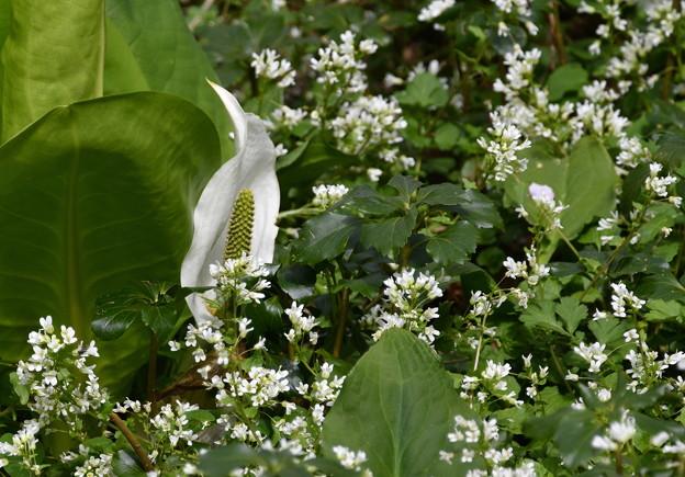 水芭蕉-小さな白い花と-3