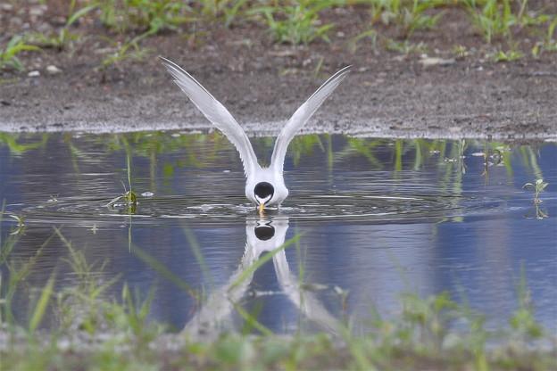 コアジサシの水浴び-2