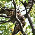 Photos: アオバズク-親鳥と-3