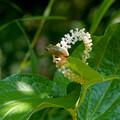 アマガエル-白い花に-1