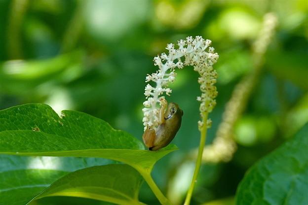 アマガエル-白い花に-2