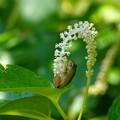 Photos: アマガエル-白い花に-2