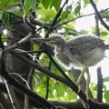 ササゴイの幼鳥-1