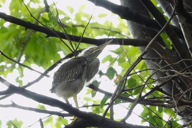 ササゴイの幼鳥-2