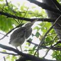 Photos: ササゴイの幼鳥-2