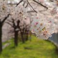 Photos: 桜の通り道