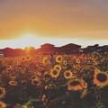 写真: Sunflower