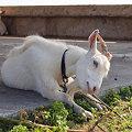 波照間島日本有人最南端付近のヤギ