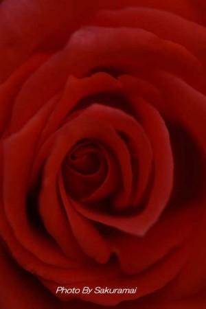 暗いバラの顔