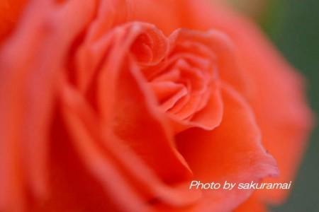 バラの横顔