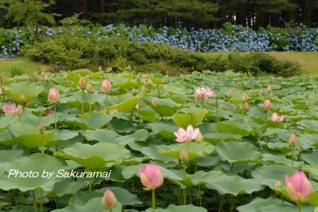 紫陽花と大賀蓮